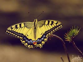 Yellow Swallowtail Butterfly II by suphafly