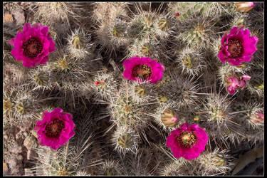 Cactus Flower by mymamiya