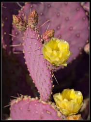 Cactus Flower2 by mymamiya