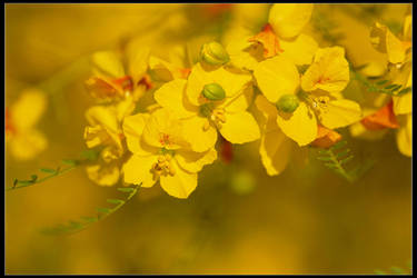 Palo Verde Bloom by mymamiya