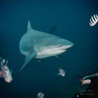 Deep. Blue. Shark. by Vitaly-Sokol