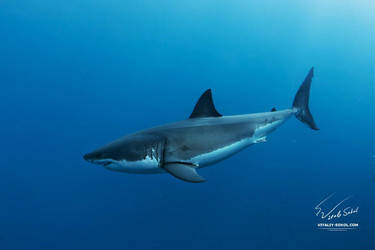 Great White Shark side view by Vitaly-Sokol