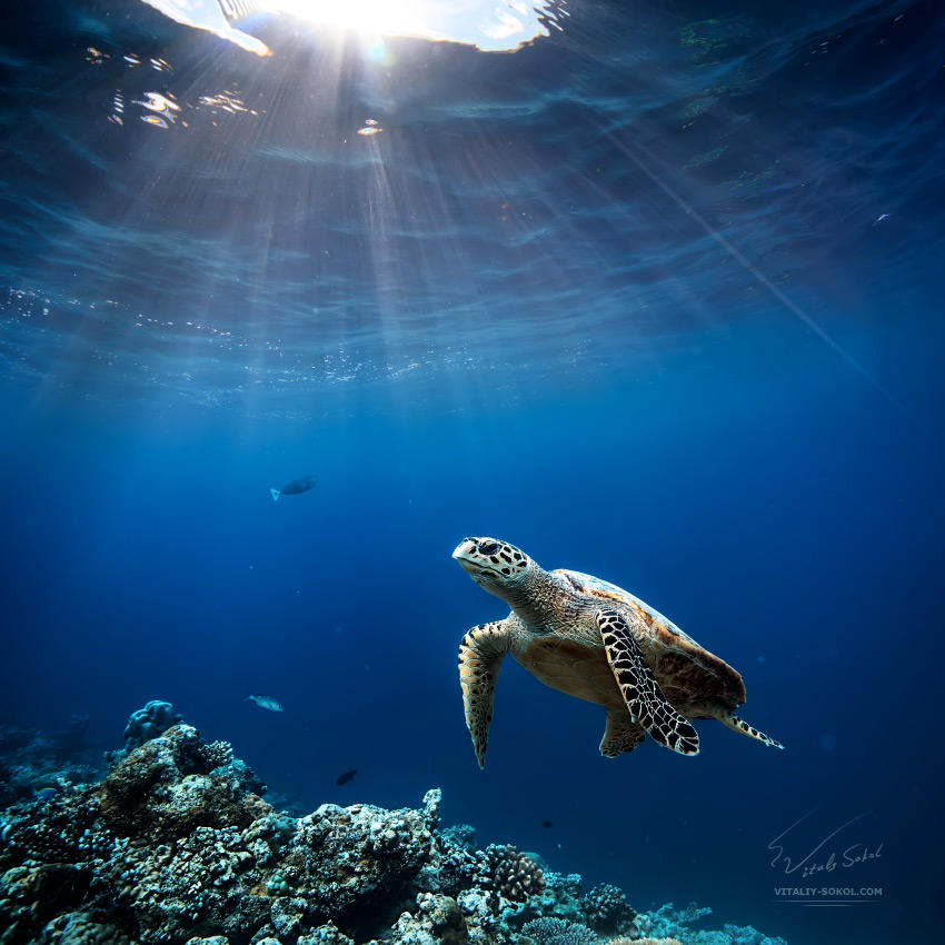 turtle-2N9A7786 by Vitaly-Sokol