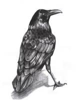 British Birds - The Raven by d3javu3