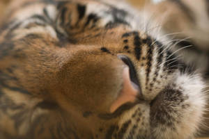 Sleeping Tiger by w3bster