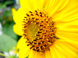 Provincetown Sunflower by Ryser915