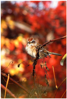 American Tree Sparrow by Ryser915