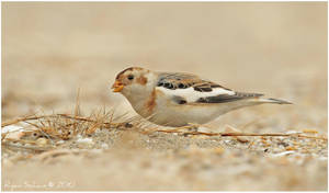 Winter Snow Bunting by Ryser915