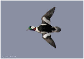 Bufflehead by Ryser915