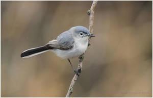 Blue-gray Gnatcatcher by Ryser915