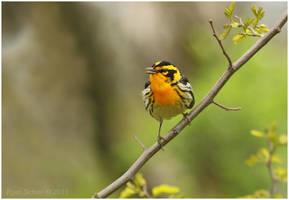 Blackburnian Warbler by Ryser915
