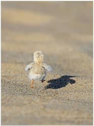Least Tern Chick by Ryser915