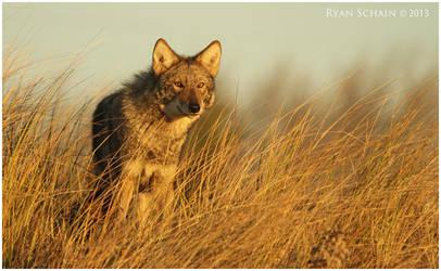 Eastern Coyote by Ryser915