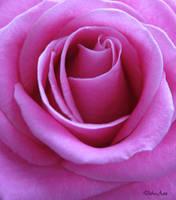Pink Rose Curls by Deb-e-ann