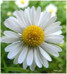 Little Daisy by Deb-e-ann