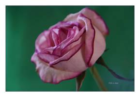 Roses 26 by Deb-e-ann