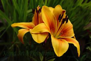 Golden Lily by Deb-e-ann