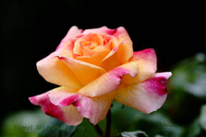 Craig's Rose by Deb-e-ann