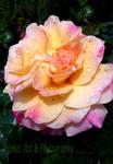Rainkissed Rose by Deb-e-ann