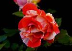 Cornwall Rose by Deb-e-ann