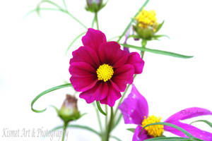 Cosmos on The Patio1 by Deb-e-ann