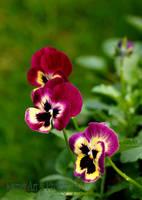 Autumn Violas by Deb-e-ann