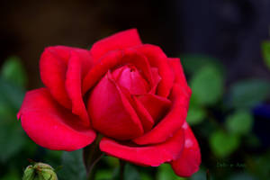 Red Red Rose by Deb-e-ann