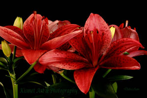 Lillies are Red by Deb-e-ann