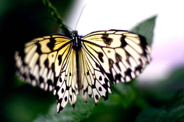 Butterfly by El-Sharra