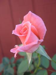 rose by thrak-stock