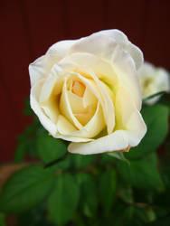 rose 2 by thrak-stock
