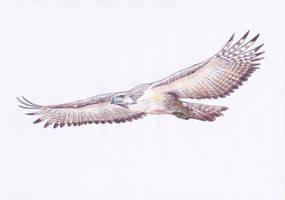 Philippine Eagle by Dontknowwhattodraw94