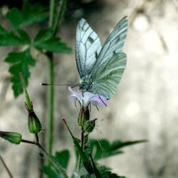 butterfly by sindarelf