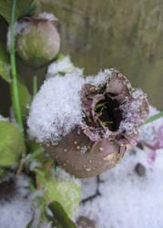 Snow Rose by kickass-peanut