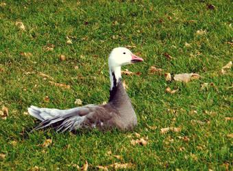 Goose by XxDarkbutterflyxX
