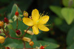 another yellow flower by aradilon