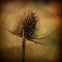 Scratched Thistle by DaBorgne