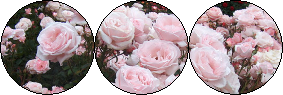 Pink Rose Divider by tordy-Iordy