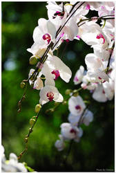 Orchid in Spring by oritana