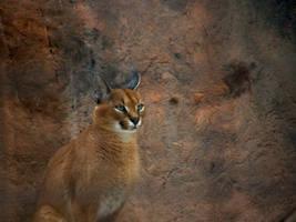 Caracal Lynx by Fictionary