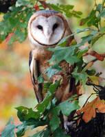 Barn Owl by jnevitt
