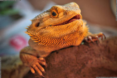 Simon the happy bearded dragon by deathproneimages