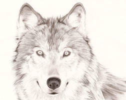 Wolf Portrait by Fivefold