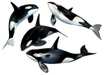 Killer Whale PNG Stock by Roy3D