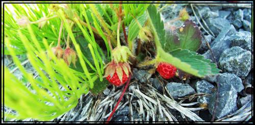Wild Strawberries by OneHourPocky