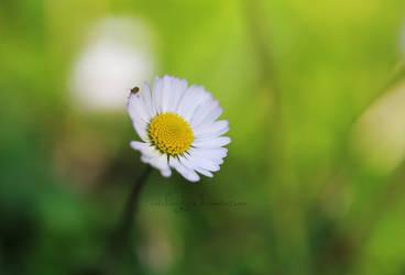 Daisy II by catchingfyre