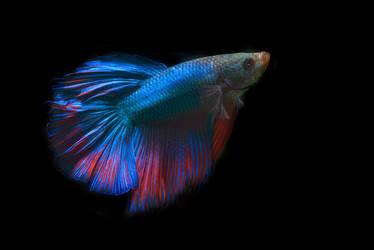 Betta Fish by philatmeartwork