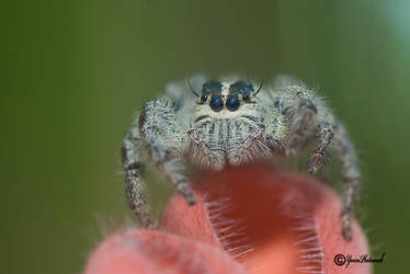 Jumping spider by philatmeartwork