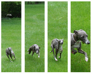 Running Italian Greyhound by rpieratt