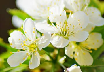 -Apple blossom- by TamekoChu